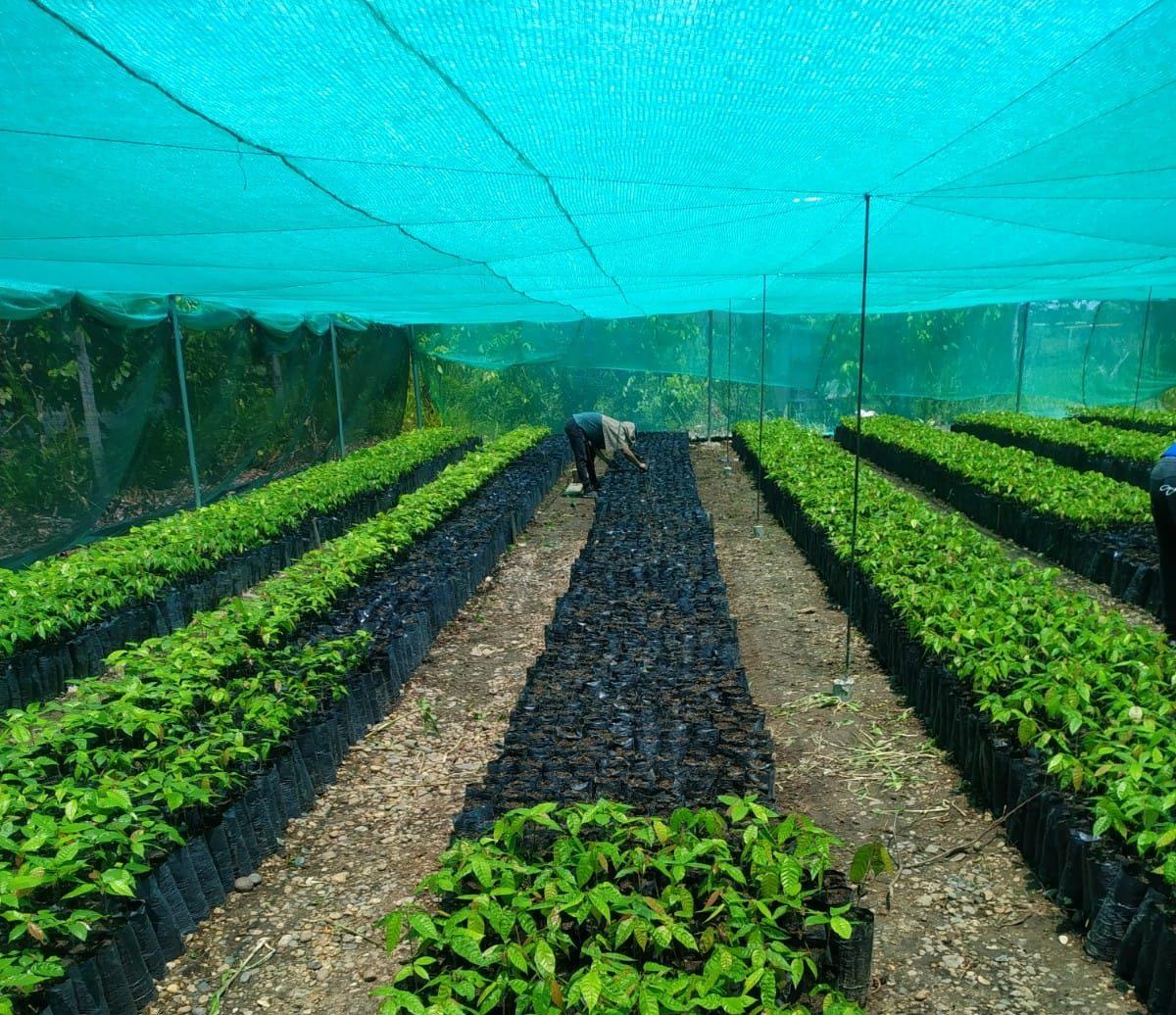 plantones-de-cacao-e1607910396398.jpeg
